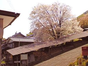 丹波の登り窯に桜